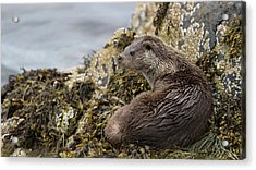 Otter Relaxing On Rocks Acrylic Print