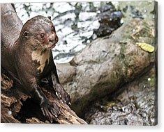 Otter Surprise Acrylic Print