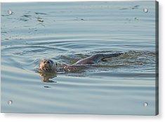 Otter Swimming Acrylic Print by Loree Johnson