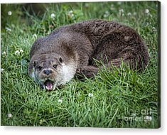 Otter With Mouth Open Acrylic Print by Philip Pound