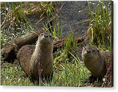 Acrylic Print featuring the photograph Otters by Steve Stuller