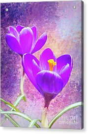 Our First Crocuses This Spring Acrylic Print