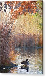 Sanctuary, Canadian Geese Acrylic Print