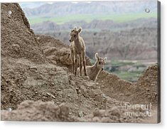 Out Exploring The Badlands Acrylic Print