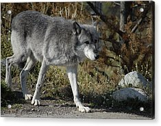 Out For A Walk Acrylic Print by Curtis Gibson