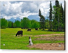 Out In The Pasture Acrylic Print