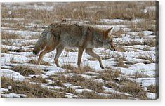 Out Looking For Dinner Acrylic Print by Robert Torkomian