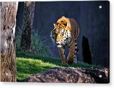 Out Of The Shadows Acrylic Print by Tom Dowd
