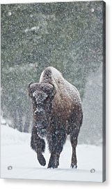 Out Of The Snow Acrylic Print by D Robert Franz