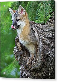 Out Pops A Gray Fox Acrylic Print