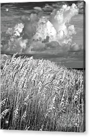 Outer Banks - Sea Oats Swaying In A Storm Bw Acrylic Print by Dan Carmichael