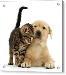 Over Friendly Kitten Acrylic Print