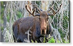 Acrylic Print featuring the photograph Overlooking Moose by Scott Mahon