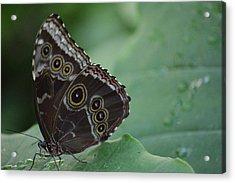 Owl Butterfly Acrylic Print