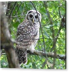 Owl On A Limb Acrylic Print by Donald C Morgan