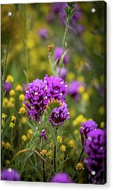 Acrylic Print featuring the photograph Owl's Clover by Peter Tellone
