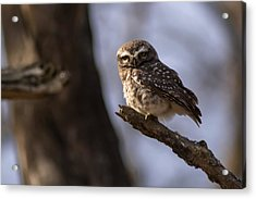 Owly - Spotted Owl Acrylic Print by Ramabhadran Thirupattur