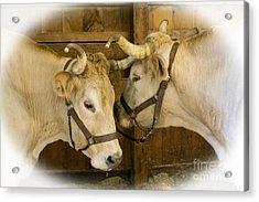 Oxen Team Acrylic Print
