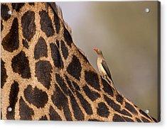 Oxpecker On Giraffe Back Acrylic Print by Johan Elzenga