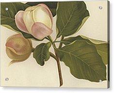 Oyama Magnolia Acrylic Print