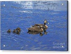 Pacific Black Duck Anas Superciliosa Acrylic Print by Gerard Lacz