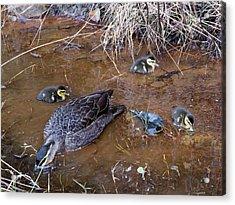 Acrylic Print featuring the photograph Pacific Black Duck Family by Miroslava Jurcik