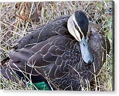 Acrylic Print featuring the photograph Pacific Black Duck Mother by Miroslava Jurcik