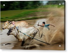 Acrylic Print featuring the photograph Pacu Jawi Bull Race Festival by Pradeep Raja Prints