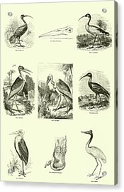 Page From The Pictorial Museum Of Animated Nature  Acrylic Print by English School