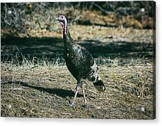 Pagosa Wild Turkey Acrylic Print