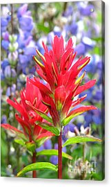 Paintbrush And Lupine Acrylic Print