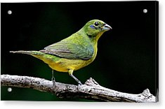 Painted Bunting - Second Year Male Acrylic Print