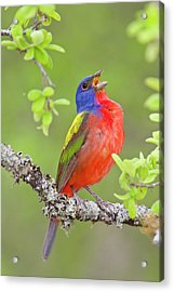 Painted Bunting Singing 2 Acrylic Print