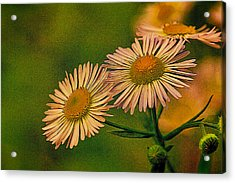 Painted Daisies 2 Acrylic Print