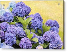 Painted Hydrangeas Acrylic Print by Gina Cormier