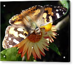 Painted Lady - Pit Stop 1 Acrylic Print by Esther Brueggemeier