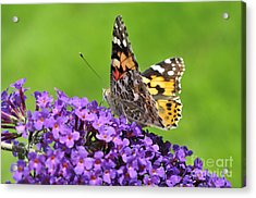 Painted Lady Butterfly On A Buddleia Acrylic Print by Andy Smy