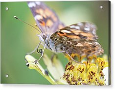 Acrylic Print featuring the photograph Painted Lady Proboscis 1 by Brian Hale