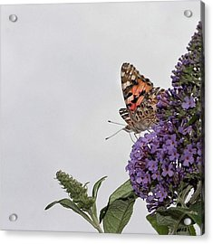 Painted Lady (vanessa Cardui) Acrylic Print by John Edwards