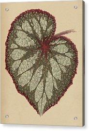 Painted Leaf Begonia Acrylic Print by English School