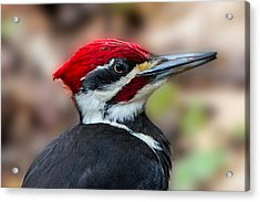 Acrylic Print featuring the painting Painted Pileated Woodpecker by John Haldane