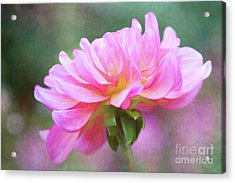 Painted Pink Dahlia Acrylic Print
