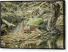 Painted Snapping Turtle Surprize Acrylic Print