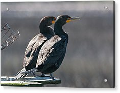 Acrylic Print featuring the photograph Pair Double-crested Cormorant 3 March 2018 by D K Wall