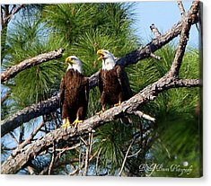 Pair Of American Bald Eagle Acrylic Print by Barbara Bowen