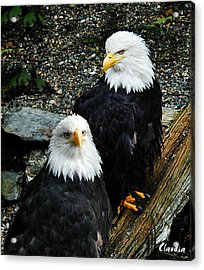 Pair Of American Eagles Acrylic Print