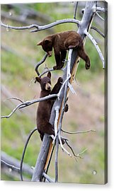 Pair Of Bear Cubs In A Tree Acrylic Print