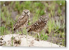Pair Of Burrowing Owls Acrylic Print