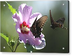 Pair Of Butterflies Acrylic Print by Rick Friedle