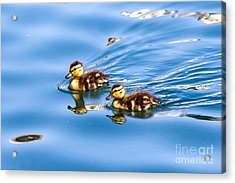 Acrylic Print featuring the photograph Duckling Duo by Kate Brown